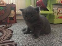 Grey male kitten for sale