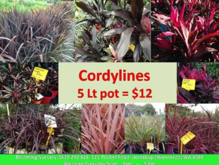 Plants in Offer with cheaper price - $12 ea for 5Lt pot Jandabup Wanneroo Area Preview