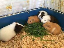 Baby Guinea pigs Galston Hornsby Area Preview