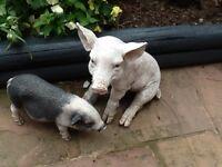 2 Pig statues