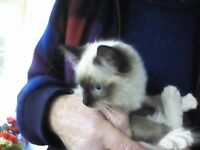 Ragdoll female kitten