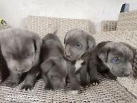Blue Cane Corso