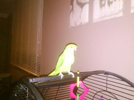 Beautiful Indian Ringneck Parrot Green Male
