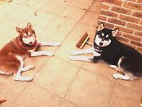 2 Pure Siberian Huskys for Sale. Bromley Kent.