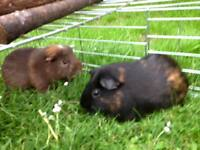 2 Guinea Pigs. 1 year and 3 months. boys. in BURNT OAK - all included £50