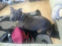 Staffy for sale