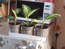 dieffenbachia plant for sale