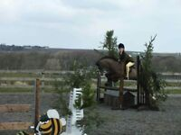 PRIESTWOOD HARDY. 12.2hh Welsh Section B. Pony Club/ Showjumping/ Allrounder/ WHP