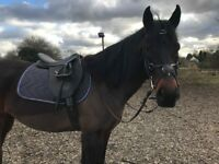 SHARER WANTED FOR 15HH CONNEMARA X TB