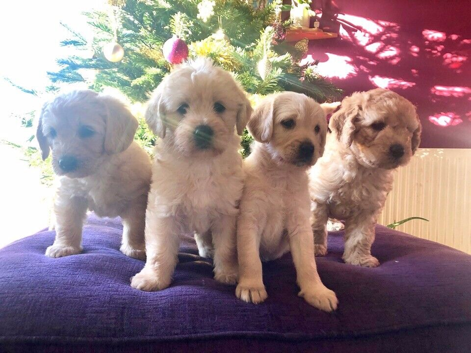 Labradoodle Puppies For Sale In Brighton East Sussex