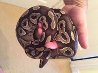 Royal ball python
