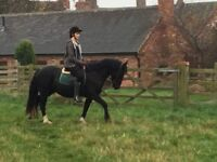 14hh Fully registered Welsh Section D Mare
