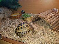 Russian Horsefield Tortoise
