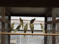 **** SOLD **** Cockatiels For Sale