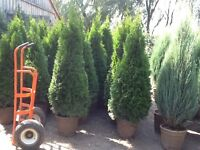 Now is the best time to plant!!! CEDARS, SPRUCES, MAPLES, ETC..