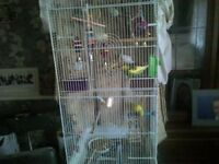 large budgie cage plus 6 budgies, toys and accessories