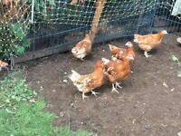 brown hens for sale 14 weeks old old