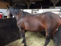 15.2 T/B mare for sale