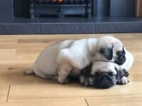 KC registered Fawn Pug Pup for sale