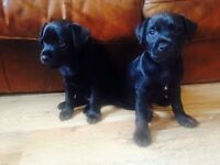 Two patterdale bitch pups, both jet black. Ready to go!