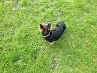 Yorkyshire terier