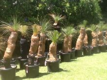 Black Boy / Grass Tree Sale Bargain Prices Northgate Brisbane North East Preview