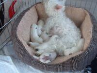 WHITE WEST HIGHLAND TERRIER PEDIGREE PUPPYS