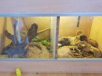 2 Male Geckos