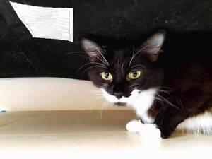 AC0478 : Maggie - CAT FOR ADOPTION - Vet Work Included Lakelands Mandurah Area Preview