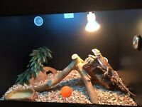11 month old friendly Bearded Dragon for sale with vivarium and accessories