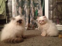 Beautiful Bouncing Baby Persian Boys