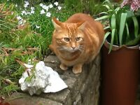 Lost Ginger Tabby. Went missing Monday evening from Churwell area.