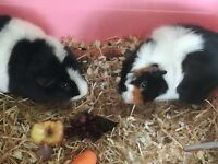 Meet Daisy n Buttercup 2 x beautiful baby girl guinea pigs (Abyssinian x Teddy) plus extras from £20
