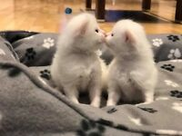 Beautiful Ragdoll/Persian kittens for Sale