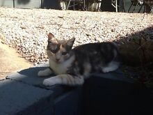 Kittens Emu Plains Penrith Area Preview