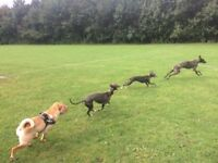 Dog Walker / Dog Walking Service (from £19 p/w)