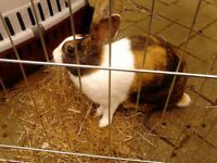 Neutered male Dutch rabbit