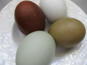 Chicken Hatching Eggs: Poultry | eBay