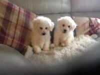 Beautiful Bichon Frise Pups