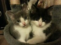 GORGEOUS GREY KITTENS 9 WEEKS OLD