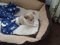 7/8th Chihuahua puppy