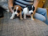 Jack Russell pups for sale 5 weeks old 2 boys mum and dad can be seen