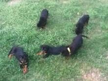 Purebred Rottweiler pups for Sale Grandchester Ipswich City Preview