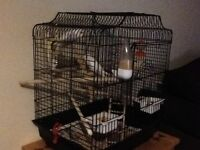 Two baby budgies for sale