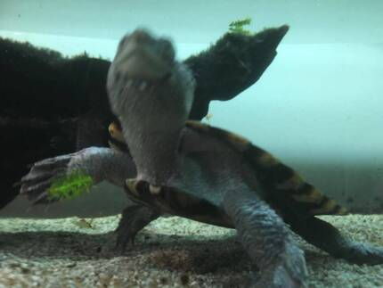 2x Turtles for sale - 1x SawShell, 1x Murray River Short Neck)