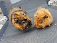Father & Son Guinea Pigs