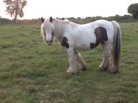 Heavy coloured mares for sale various