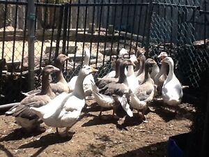 10 Goose. WILL SWAP 1 GOOSE FOR 3  CHICKEN South Lake Cockburn Area Preview