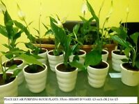 Peace Lily Plants & Other Various House Plants