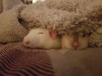 Art Student - wanted large double bedroom in plant friendly shared flat (have pet rats too)
